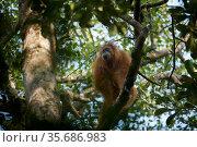 Tapanuli Orangutan (Pongo tapanuliensis) Tiur, adult female, Batang Toru Forest. Sumatran Orangutan Conservation Project, North Sumatran Province, Indonesia. Стоковое фото, фотограф Tim  Laman / Nature Picture Library / Фотобанк Лори