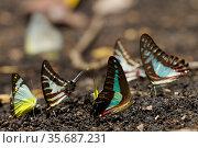 Butterflies puddling, including Graphium sarpedon, Delias sp, and Graphium aristeus Vogelkop Peninsula, West Papua. Стоковое фото, фотограф Tim Laman / Nature Picture Library / Фотобанк Лори