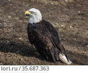 Bald eagle sitting on the ground, close-up. Стоковое фото, фотограф Наталья Волкова / Фотобанк Лори
