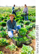 Farm worker gathering crop of savoy cabbage on plantation. Стоковое фото, фотограф Яков Филимонов / Фотобанк Лори