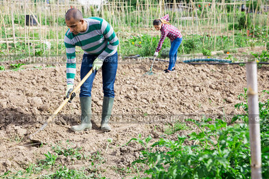Team of farmers work together on the beds with hoe