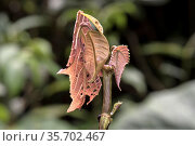 Pinkfarbene Laubheuschrecke Eulophyllum lobatum im Habitat, Blattmimese... Стоковое фото, фотограф Zoonar.com/Georg_A / age Fotostock / Фотобанк Лори