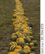 Poland. Pumpkins in a field. Стоковое фото, фотограф Piotr Ciesla / age Fotostock / Фотобанк Лори