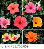 Colorful hibiscus growing in a tropical garden. Стоковое фото, фотограф Zoonar.com/emmanuelle bonzami / age Fotostock / Фотобанк Лори
