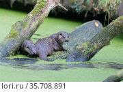 Europaeischer Fischotter, Lutra lutra, european otter. Стоковое фото, фотограф Zoonar.com/CHRISTOPHBOSCH@GMX.DE / easy Fotostock / Фотобанк Лори