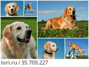 Composite picture with purebred dogs and puppies golden retriever. Стоковое фото, фотограф Zoonar.com/emmanuelle bonzami / age Fotostock / Фотобанк Лори