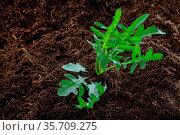 Rucola-Pflanze im Beet - Nahaufnahme. Стоковое фото, фотограф Zoonar.com/Petra Schüller / easy Fotostock / Фотобанк Лори
