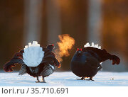 Two male Black grouse (Tetrao / Lyrurus tetrix) confronting eachother... Стоковое фото, фотограф Markus Varesvuo / Nature Picture Library / Фотобанк Лори