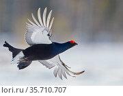Male Black grouse (Tetrao / Lyrurus tetrix) in flight. Utajarvi, Finland, April. Стоковое фото, фотограф Markus Varesvuo / Nature Picture Library / Фотобанк Лори