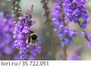 Buff-tailed bumblebee (Bombus terrestris), feeding on Purple toadflax (Linaria purpurea), native pollinator, Monmouthshire, Wales UK, June. Стоковое фото, фотограф Phil Savoie / Nature Picture Library / Фотобанк Лори