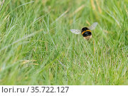 Buff-tailed bumblebee (Bombus terrestris) queen searching nest site, Monmouthshire, Wales, UK, April. Стоковое фото, фотограф Phil Savoie / Nature Picture Library / Фотобанк Лори