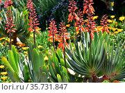 Fan aloe (Kumara plicatilis or Aloe plicatilis) is a robust succulent... Стоковое фото, фотограф J M Barres / age Fotostock / Фотобанк Лори