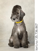 Sweet two month old Bedlington Terrier puppy sitting in the studio on a light gray background. Стоковое фото, фотограф Алексей Кузнецов / Фотобанк Лори