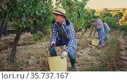 Two successful winemakers gathering harvest of grapes together in vineyard in autumn. Стоковое видео, видеограф Яков Филимонов / Фотобанк Лори
