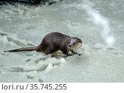 Fischotter im Winter. Стоковое фото, фотограф Reiner Bernhardt / age Fotostock / Фотобанк Лори