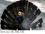 Der Auerhahn bei der Balz am Teisenberg, Berchtesgadener Land, Deutschland. Стоковое фото, фотограф ROHA-Fotothek Fuermann / age Fotostock / Фотобанк Лори