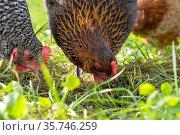 Der Gockel mit seinen Hennen freilaufend. Стоковое фото, фотограф ROHA-Fotothek Fuermann / age Fotostock / Фотобанк Лори