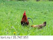 Gockel mit seinen Hennen. Стоковое фото, фотограф ROHA-Fotothek Fuermann / age Fotostock / Фотобанк Лори
