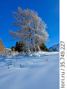 A larch tree covered in snow in the winter. Стоковое фото, фотограф Neil Harrison / age Fotostock / Фотобанк Лори