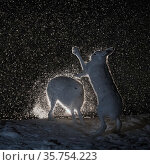 Mountain hares (Lepus timidus) fighting in snow at night, Vauldalen... Стоковое фото, фотограф Erlend Haarberg / Nature Picture Library / Фотобанк Лори