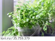 Growing seedlings of parsley in a pot on a window on a windowsill on a balcony, gardening. Стоковое фото, фотограф Светлана Евграфова / Фотобанк Лори