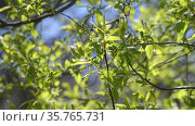 Branches of bird cherry in early spring with young leaves and buds. Стоковое видео, видеограф Володина Ольга / Фотобанк Лори