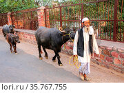 Local man walking with water buffalo in the street of Fatehpur Sikri... Стоковое фото, фотограф Zoonar.com/Don Mammoser / age Fotostock / Фотобанк Лори