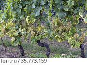 Muscat Ottonel grapes in September, vineyards Mont-sur-Rolle, literally... Стоковое фото, фотограф Danuta Hyniewska / age Fotostock / Фотобанк Лори