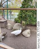 Самка белого павлина (Pavo cristatus mut. alba). Московский зоопарк. Стоковое фото, фотограф Мария Кылосова / Фотобанк Лори