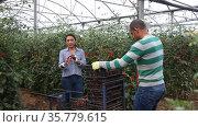 Latina woman and man seasonal workers harvesting ripe tomatoes in greenhouse. Стоковое видео, видеограф Яков Филимонов / Фотобанк Лори