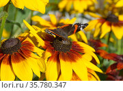 Бабочка Адмирал (лат. Vanessa atalanta) на цветке рудбекии собирает нектар. Стоковое фото, фотограф Елена Коромыслова / Фотобанк Лори