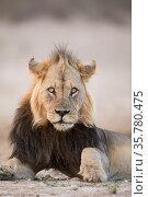 Lion (Panthera leo) male, Kgalagadi Transfrontier Park, South Africa. Стоковое фото, фотограф Richard Du Toit / Nature Picture Library / Фотобанк Лори