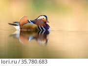 Mandarin duck (Aix galericulata) male swimming, London, UK, April. Стоковое фото, фотограф Oscar Dewhurst / Nature Picture Library / Фотобанк Лори