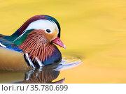 Mandarin duck (Aix galericulata) male swimming, London, UK, November. Стоковое фото, фотограф Oscar Dewhurst / Nature Picture Library / Фотобанк Лори