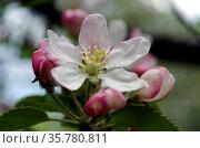 Цветок яблони с красивыми бело-розовыми лепестками крупным планом. Стоковое фото, фотограф Светлана Шимкович / Фотобанк Лори