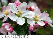 Цветы яблони крупным планом с хорошо видимыми тычинками. Стоковое фото, фотограф Светлана Шимкович / Фотобанк Лори