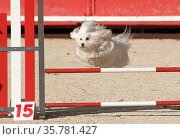 Beautiful purebred maltese dog jumping in a competition of agility. Стоковое фото, фотограф Zoonar.com/Emmanuelle BONZAMI / age Fotostock / Фотобанк Лори