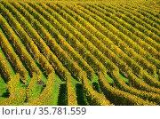 Patterns in vineyards, vineyards, Mont-sur-Rolle, literally Mont ... Стоковое фото, фотограф Danuta Hyniewska / age Fotostock / Фотобанк Лори