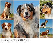 Portrait of dogs and puppies australian sheepdogs outdoors. Стоковое фото, фотограф Zoonar.com/emmanuelle bonzami / age Fotostock / Фотобанк Лори