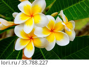 White and yellow plumeria flowers on a tree. Стоковое фото, фотограф Zoonar.com/Don Mammoser / age Fotostock / Фотобанк Лори