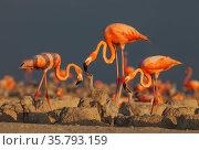 Caribbean flamingos (Phoenicopterus ruber) feeding crop milk to chicks in breeding colony, Ria Lagartos Biosphere Reserve, Yucatan Peninsula, Mexico, June. Стоковое фото, фотограф Claudio Contreras / Nature Picture Library / Фотобанк Лори