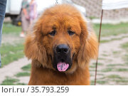 Portrait of a large shaggy fluffy dog purebred domestic pet with a spotted tongue of breed Tibetan Mastiff redhead brown color outdoors. Стоковое фото, фотограф Светлана Евграфова / Фотобанк Лори