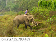 Asiatic elephant (Elephas maximus) with mahout carrying timber from buffer zone of Chitwan National Park, Nepal March 2019. Стоковое фото, фотограф Dave Watts / Nature Picture Library / Фотобанк Лори