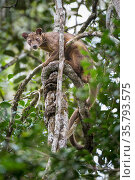 Male Fossa (Cryptoprocta ferox) resting in tree canopy. Mid-altitude rainforest, Andasibe-Mantadia National Park, eastern Madagascar. Endangered species. Стоковое фото, фотограф Nick Garbutt / Nature Picture Library / Фотобанк Лори