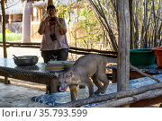 Tourist taking a picture of Fosa / Fossa (Cryptoprocta ferox) male scavenging around field camp in dry decidous forest. Kirindy, western Madagascar. Endangered. Стоковое фото, фотограф Nick Garbutt / Nature Picture Library / Фотобанк Лори