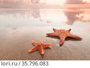 Two starfish on sea beach at sunset, Bali, Seminyak, Double six beach. Стоковое фото, фотограф Zoonar.com/Ivan Mikhaylov / easy Fotostock / Фотобанк Лори