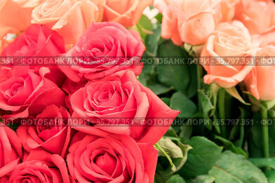Red and pale orange roses bouquet. Close up