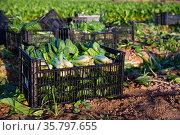 Ripe mangold in boxes on a farm field. Стоковое фото, фотограф Яков Филимонов / Фотобанк Лори