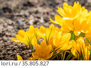 Yellow crocus flowers in a flowerbed at springtime blooming in the sun. Стоковое фото, фотограф Zoonar.com/Polarpx / age Fotostock / Фотобанк Лори