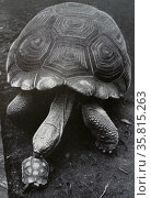 Photograph of two tortoises, Big Claus and Little Claus, whom greatly differ in size. Редакционное фото, агентство World History Archive / Фотобанк Лори